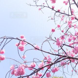 空,花,桜,ピンク,明るい,さくら