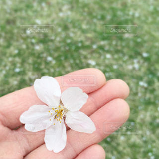 桜,花びら,一輪の花,思い出,卒業式