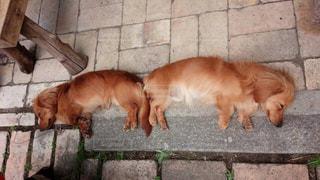 犬,昼寝,仲良し,ミニチュアダックス,ツーショット