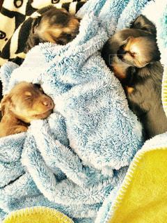 犬,昼寝,ペット,子犬,ミニチュアダックスフント
