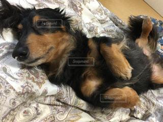 犬,昼寝,ペット,ヘソ天,ミニチュアダックスフント