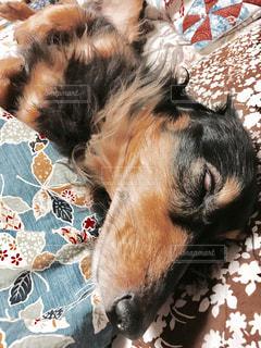 犬,昼寝,ペット,白目,ヘソ天,ミニチュアダックスフント