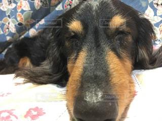 犬,昼寝,ペット,ミニチュアダックスフント