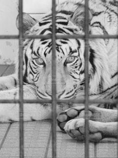 檻の中のホワイトタイガーの写真・画像素材[820158]