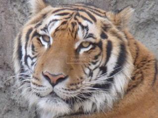 タイガーの写真・画像素材[874922]