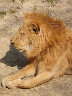 ライオンの写真・画像素材[874923]