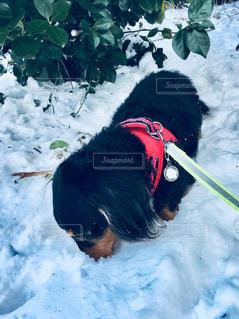 雪遊びの写真・画像素材[1005390]