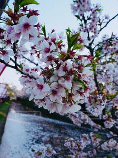 桜の写真・画像素材[1154178]