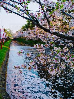 桜の写真・画像素材[1154185]