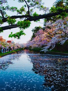 桜の写真・画像素材[1154188]