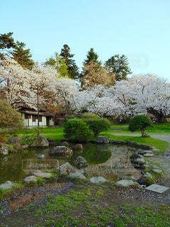 桜の写真・画像素材[1154205]