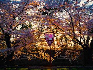 桜の写真・画像素材[1154211]