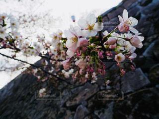 石垣と桜の写真・画像素材[1154218]