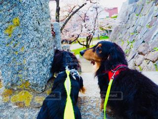 桜の写真・画像素材[1154222]