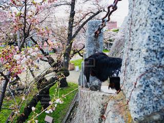 桜の写真・画像素材[1154239]