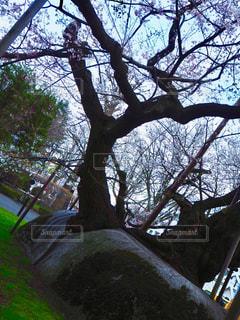 石割桜の写真・画像素材[1154272]