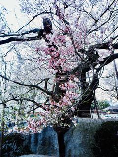 石割桜の写真・画像素材[1154273]