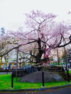 石割桜の写真・画像素材[1154274]