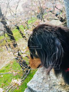 桜の写真・画像素材[1155056]