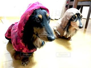 犬,雨,ペット,ダックスフント,梅雨,ミニチュアダックスフンド,ダックスフンド,ミニチュアダックスフント