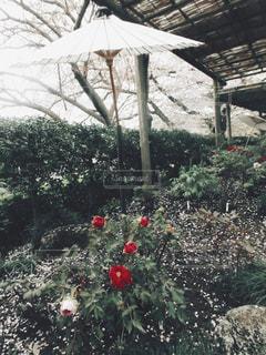牡丹の写真・画像素材[1252783]