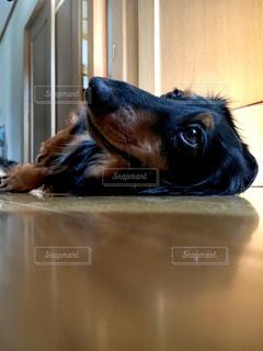 横になって、カメラを見ている犬の写真・画像素材[1326111]