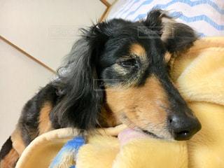 毛布の上に横になっている茶色と黒犬の写真・画像素材[1326938]