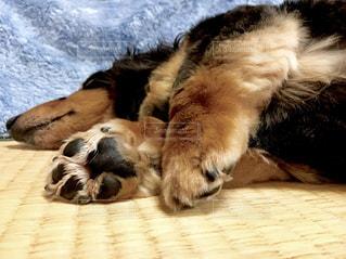 ベッドの上で眠っている犬の写真・画像素材[1327227]