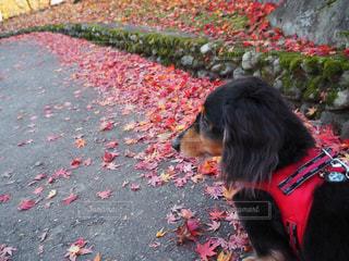 秋の散歩の写真・画像素材[1619117]