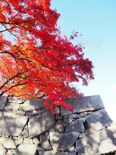 石垣と紅葉の写真・画像素材[1619139]