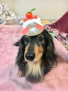 鏡餅と犬の写真・画像素材[1684921]