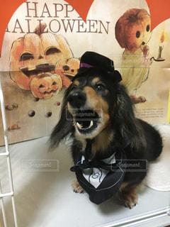 衣装を着た犬の写真・画像素材[2499599]