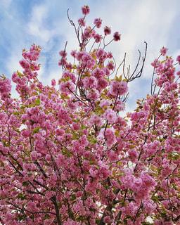 空,花,春,桜,木,ピンク,花見,サクラ,満開,お花見,イベント,さくら