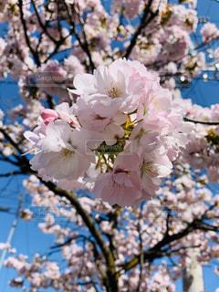 空,花,春,桜,木,ピンク,花見,サクラ,お花見,イベント,さくら