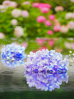 紫陽花のリフレクションの写真・画像素材[4464962]