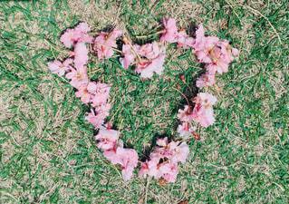 自然,公園,桜,芝生,ピンク,緑,花びら,ハート,芝,ぴんく,はなびら