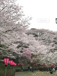 桜,お花見,静岡,藤枝,金比羅山