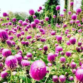近くに紫の花のアップの写真・画像素材[873720]