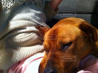 犬に膝枕の写真・画像素材[473254]