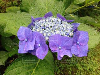 近くに紫の花と緑の葉のアップの写真・画像素材[1125863]
