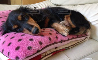 ベッドの上で横になっている茶色と黒犬の写真・画像素材[1186272]