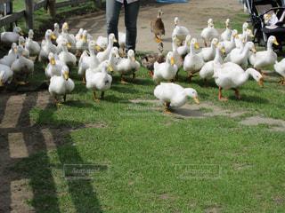 草の中に立っている羊のグループ - No.756538