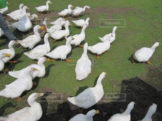 芝生の上に立っているカモメの群れの写真・画像素材[756539]