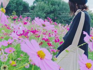 コスモス畑 - No.843008