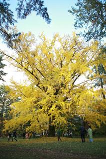 maple leaf - No.916067