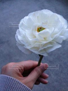 花,白,手,ラナンキュラス