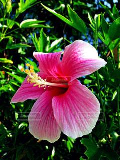 自然,花,屋外,ピンク,ハイビスカス,沖縄,旅行