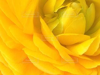花,黄色,イエロー,ラナンキュラス