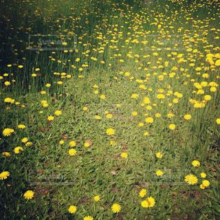 黄色の写真・画像素材[601379]
