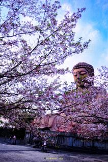 ピンク,ファインダー越しの私の世界,pic,#春,#さくら,#写真,#デジタル一眼レフ,#カメラ好きな人と繋がりたい,#東海市,聚楽園大仏,phot